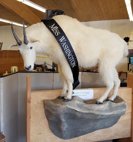 Saturday Auction goat