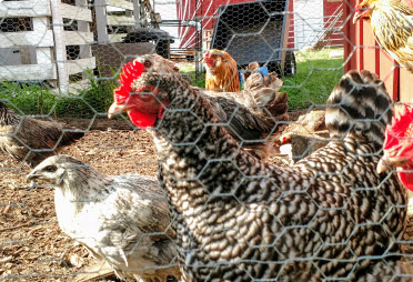 Can't torment the chickens